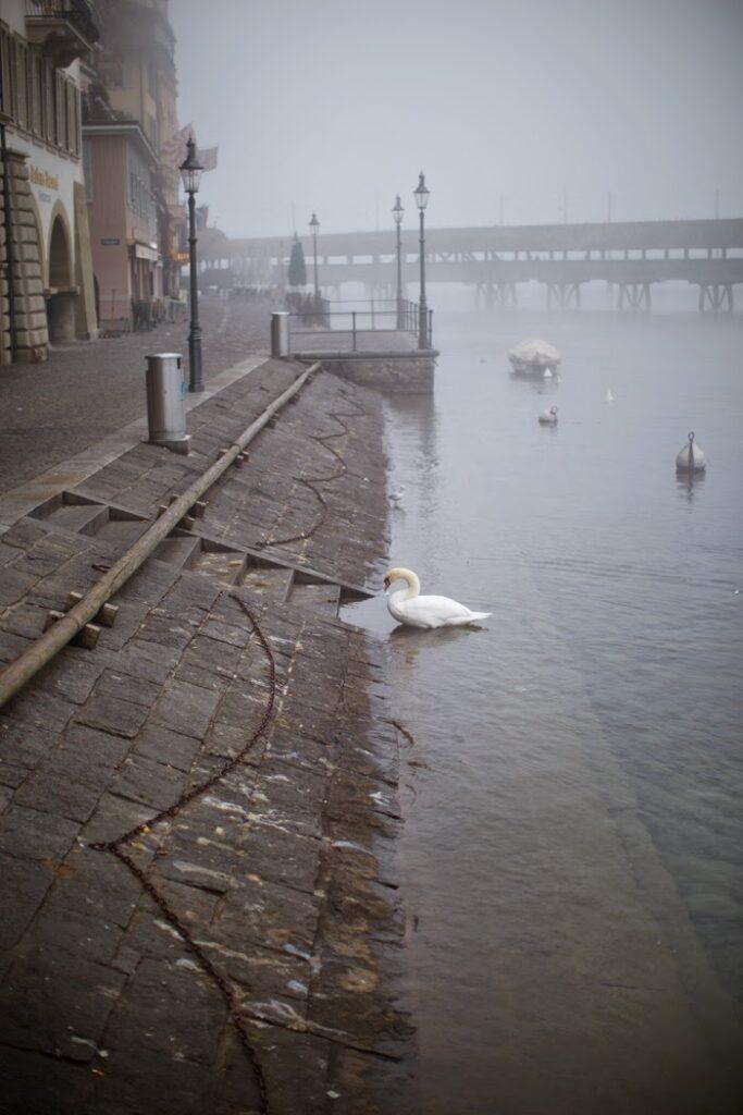 swans on lake lucerne