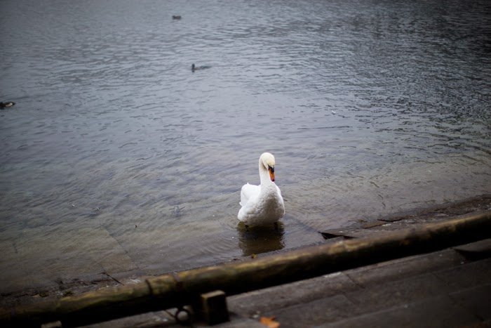 loner swan on Lake lucerne