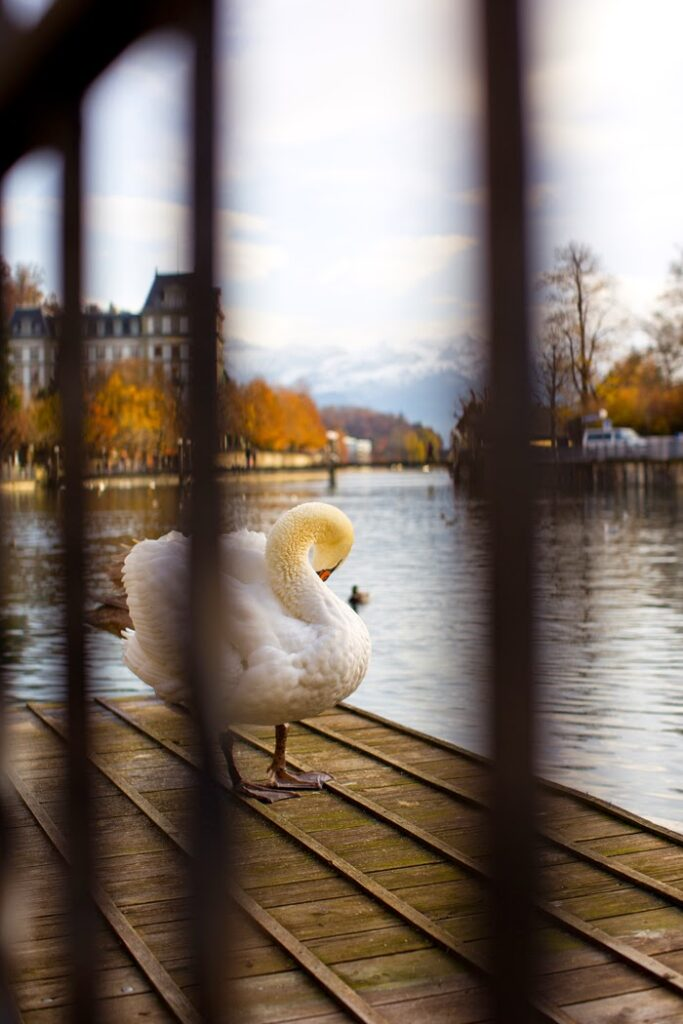 Swan on dock in Thun
