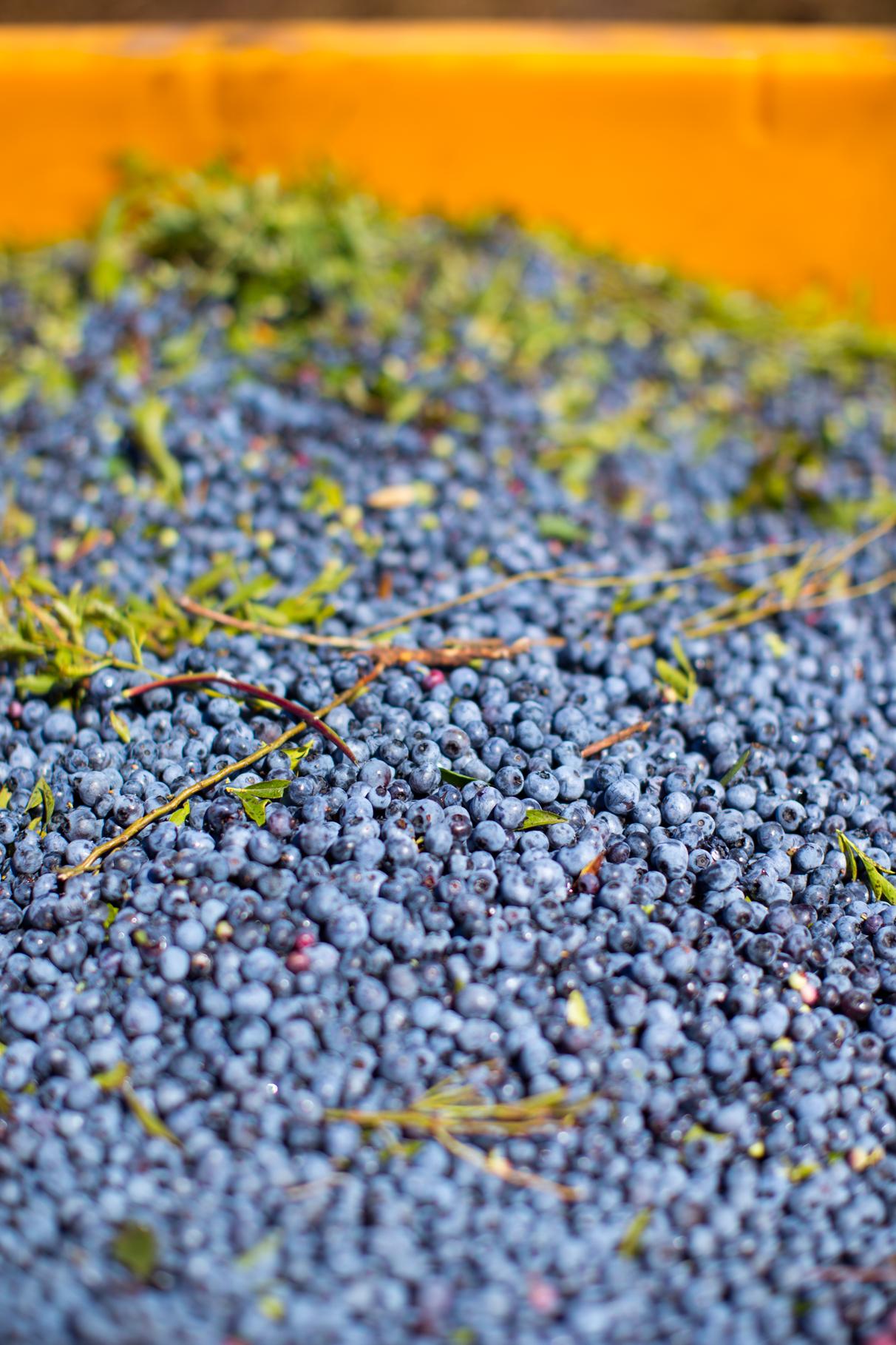 maine wild blueberries